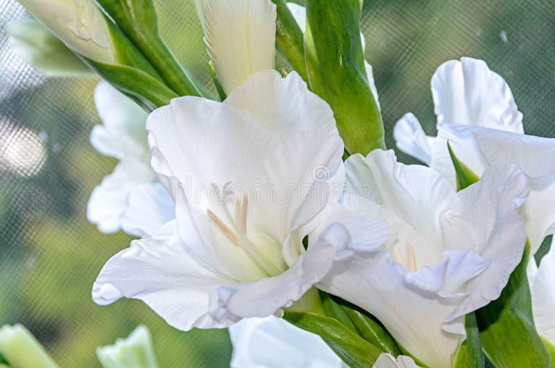 Λευκό λουλούδι Gladiolus imbricatus, κοντά στοκ εικόνες