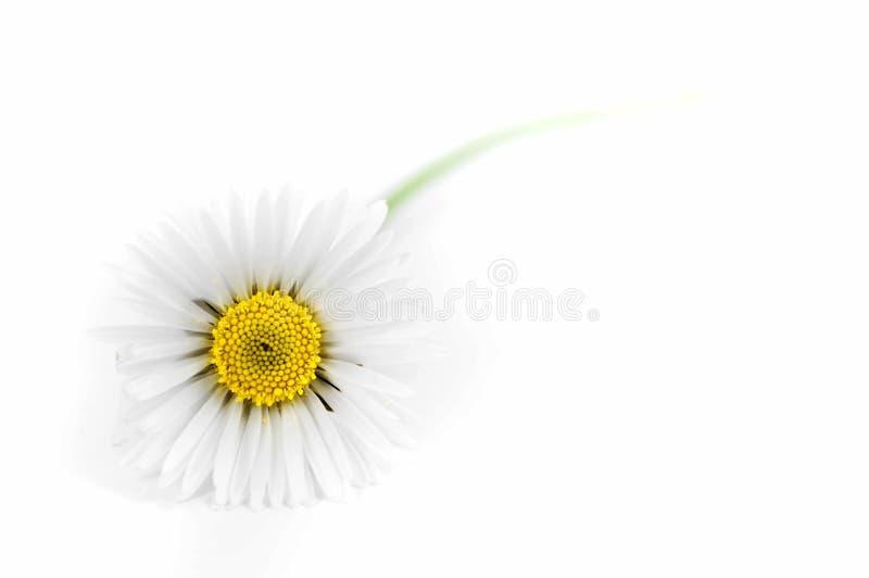 λευκό μαργαριτών στοκ εικόνα με δικαίωμα ελεύθερης χρήσης