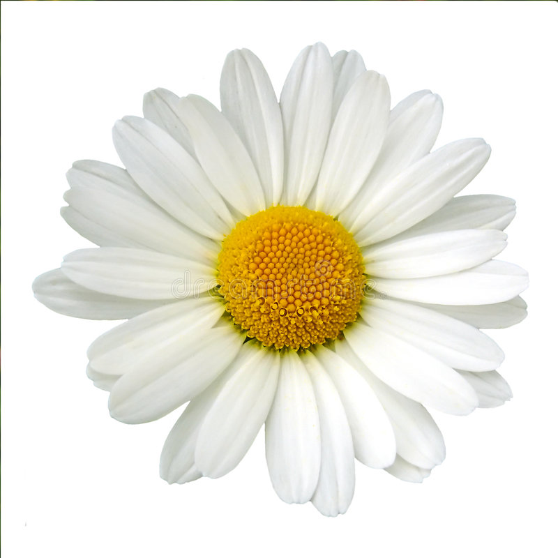 λευκό μαργαριτών στοκ φωτογραφία με δικαίωμα ελεύθερης χρήσης