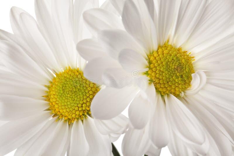 λευκό μαργαριτών στοκ εικόνα