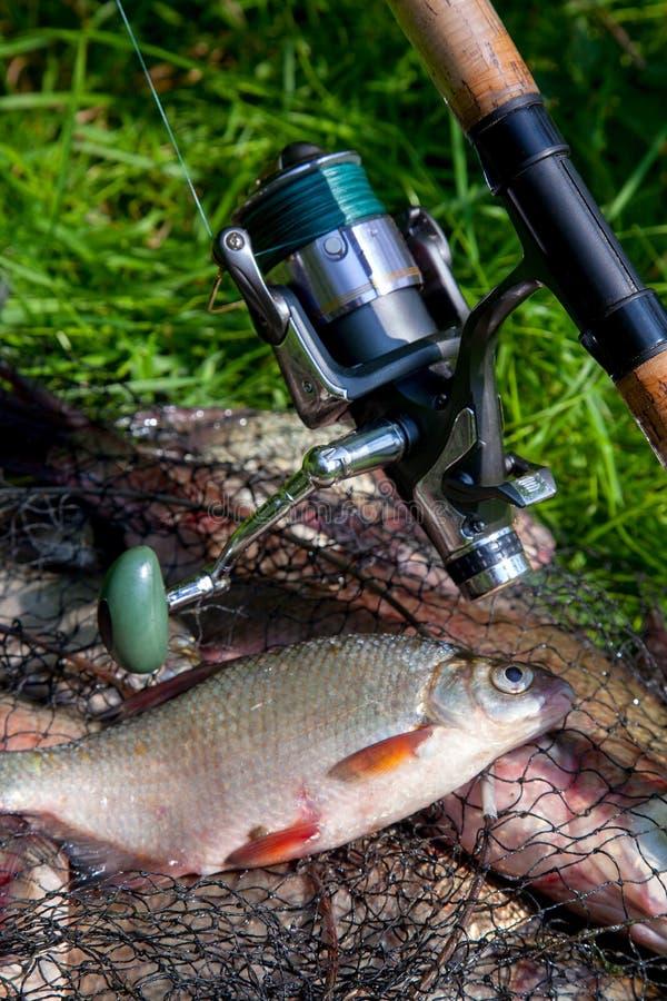 Λευκό μαύρο bream ή αργυρό bream σε απλά γλυκά νερά, σε πέπλα με χάλκινους μαστούς ή κυπρίους σε πράσινο γρασίδι και καλάμι ψαρέμ στοκ φωτογραφίες
