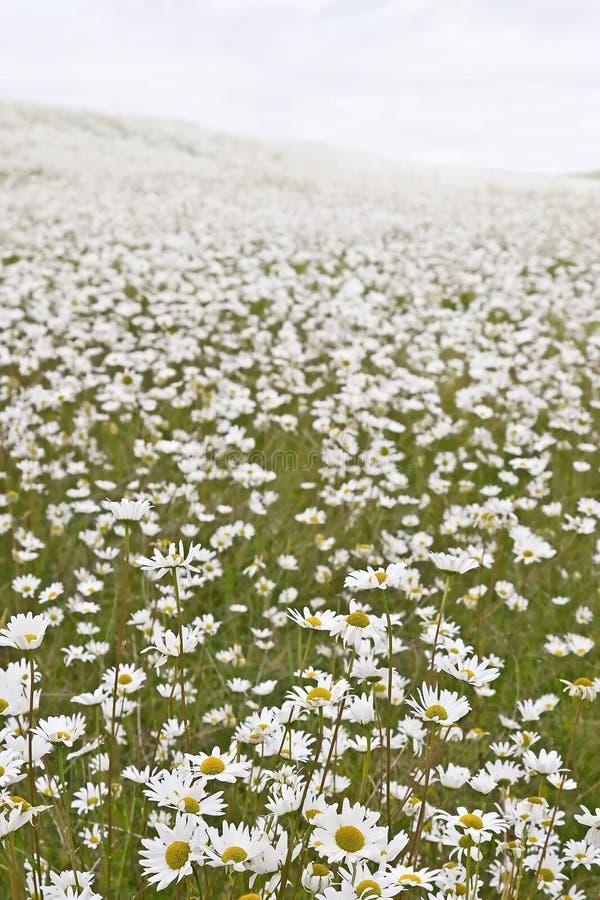 λευκό πεδίων μαργαριτών στοκ φωτογραφία με δικαίωμα ελεύθερης χρήσης