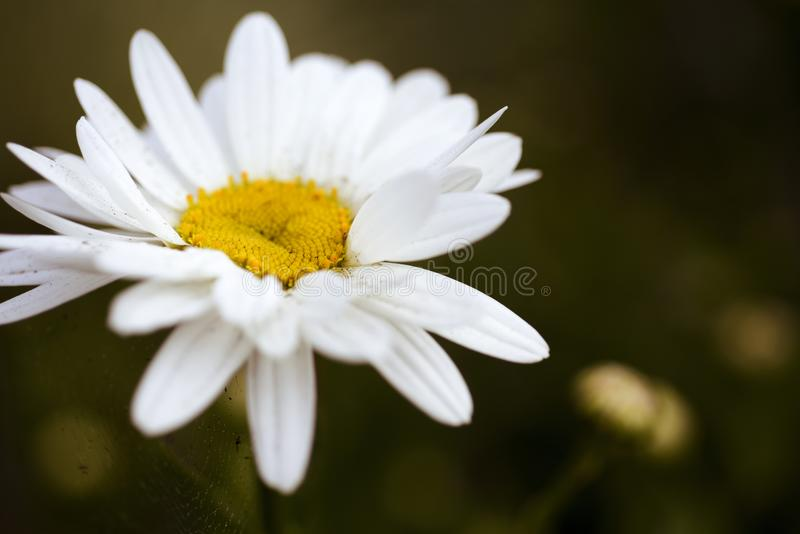 λευκό πετάλων μαργαριτών στοκ εικόνα με δικαίωμα ελεύθερης χρήσης