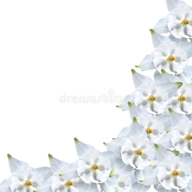 λευκό πλαισίων aquilegia στοκ φωτογραφίες με δικαίωμα ελεύθερης χρήσης