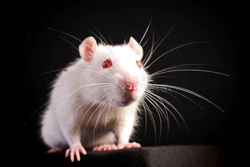 λευκό ποντικιών στοκ φωτογραφία