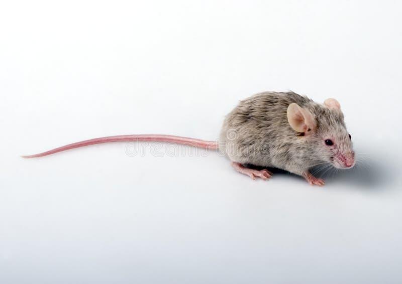 λευκό ποντικιών στοκ φωτογραφίες με δικαίωμα ελεύθερης χρήσης