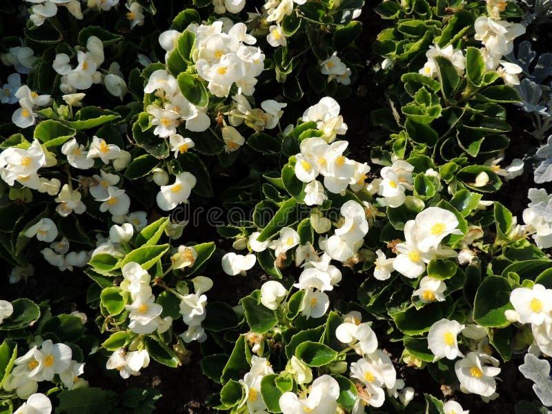 Λευκό που ανθίζει πάντα begonia (Begonia semperflorens), οικογένεια Begoniaceae στοκ εικόνες