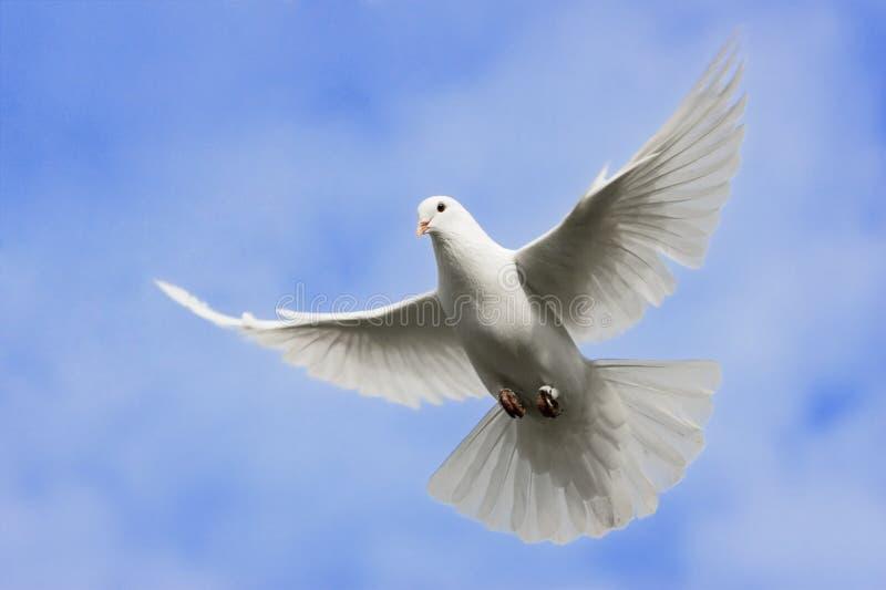 λευκό πτήσης περιστεριών
