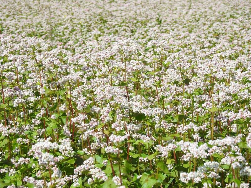 Λευκό σιτάρι το καλοκαίρι, Λιθουανία στοκ εικόνες με δικαίωμα ελεύθερης χρήσης