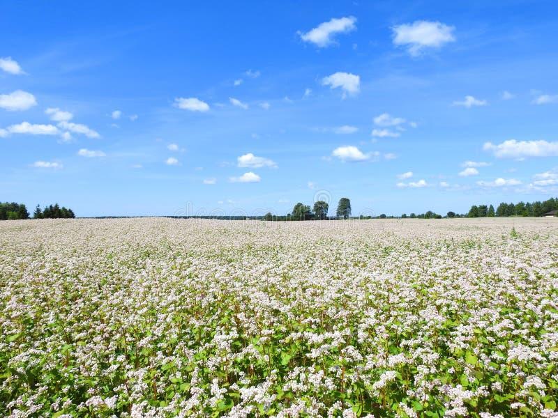 Λευκό σιτάρι το καλοκαίρι, Λιθουανία στοκ εικόνες