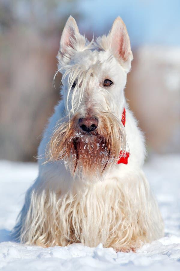 Λευκό σιταρένιο σκωτσέζικο τεριέ, που κάθεται στο χιόνι κατά τη διάρκεια του χειμώνα Σκηνή χειμερινών σκυλιών με το χιόνι Άσπρο σ στοκ φωτογραφία