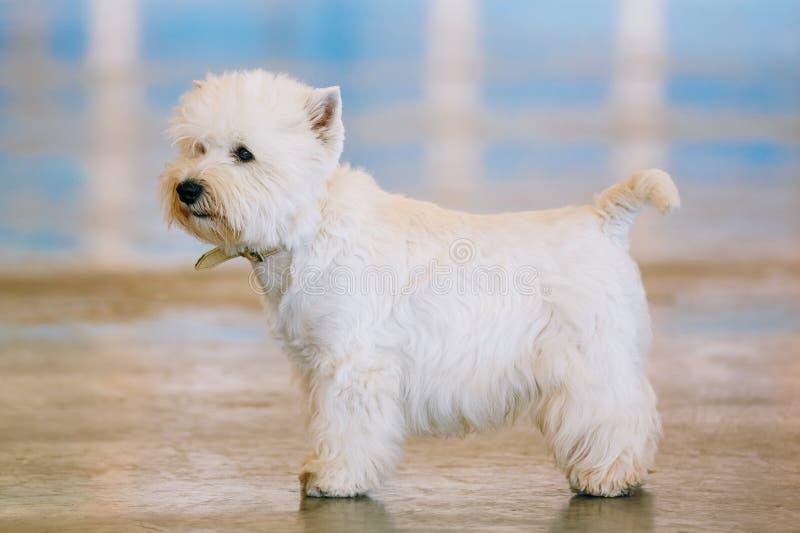 Λευκό τεριέ δυτικών ορεινών περιοχών, Westie, Westy, σκυλί στοκ φωτογραφίες με δικαίωμα ελεύθερης χρήσης