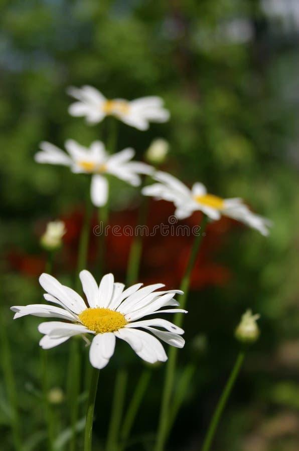 Λευκό της Daisy Daisy στοκ εικόνες