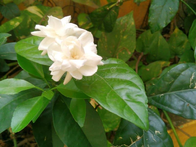 Λευκό της Jasmine στοκ φωτογραφία