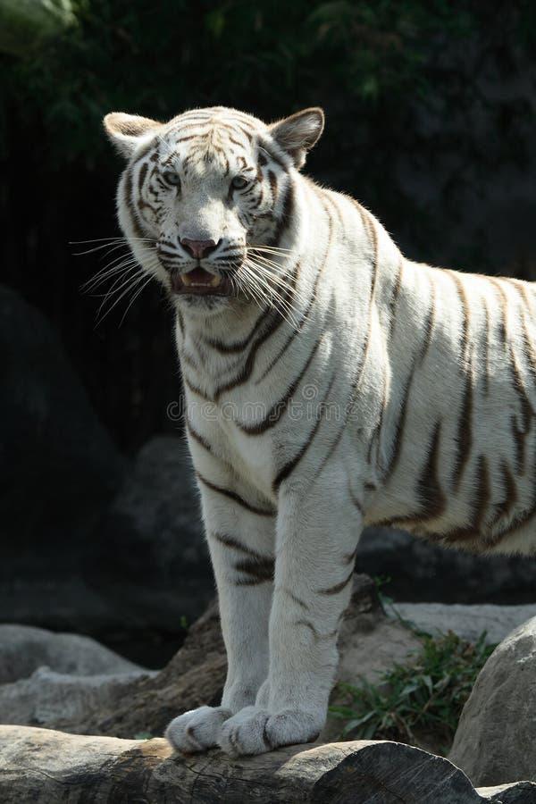 λευκό τιγρών στοκ φωτογραφίες