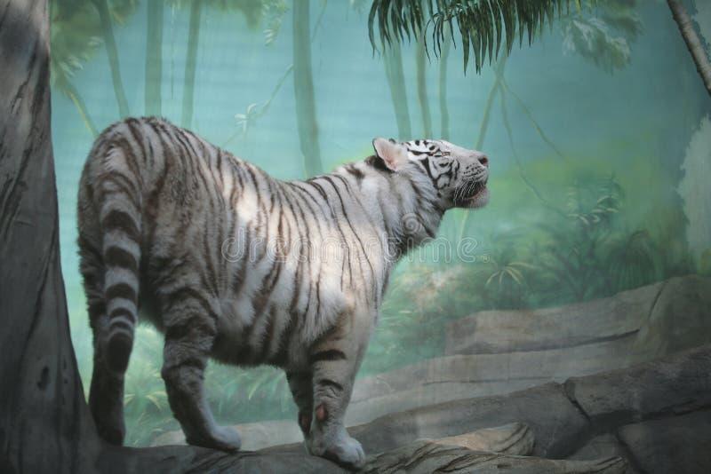 Download λευκό τιγρών στοκ εικόνα. εικόνα από γάτα, εξωτικός, ριγωτός - 2225349