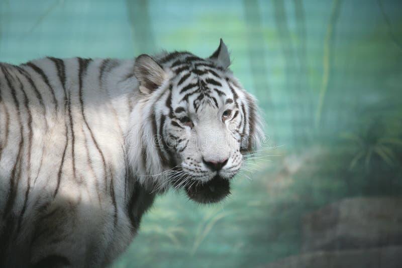 Download λευκό τιγρών στοκ εικόνα. εικόνα από άσπρος, άγριος, ινδία - 2225405