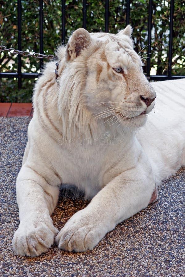 λευκό τιγρών στοκ εικόνα