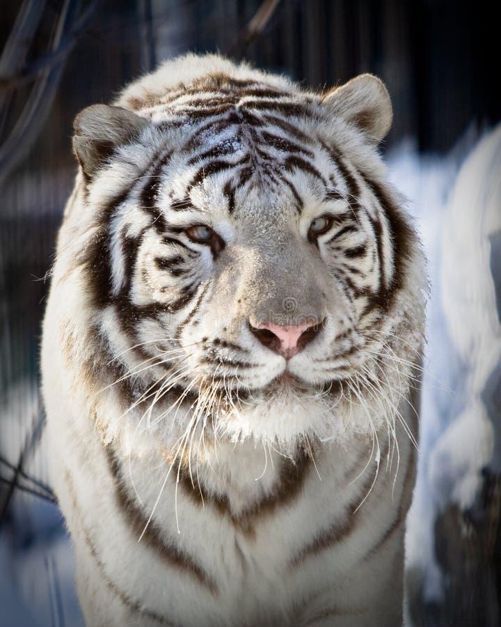 λευκό τιγρών στοκ φωτογραφίες με δικαίωμα ελεύθερης χρήσης