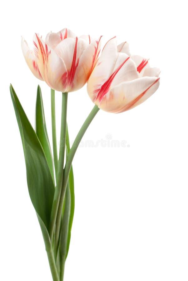λευκό τουλιπών ανθοδε&sigm στοκ φωτογραφία με δικαίωμα ελεύθερης χρήσης