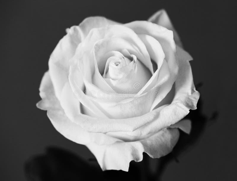 Λευκό τριαντάφυλλο όμορφο λουλούδι κοντά στη μακροεντολή στοκ εικόνα