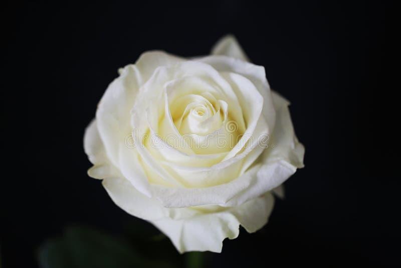 Λευκό τριαντάφυλλο όμορφο λουλούδι κοντά στη μακροεντολή στοκ εικόνες με δικαίωμα ελεύθερης χρήσης