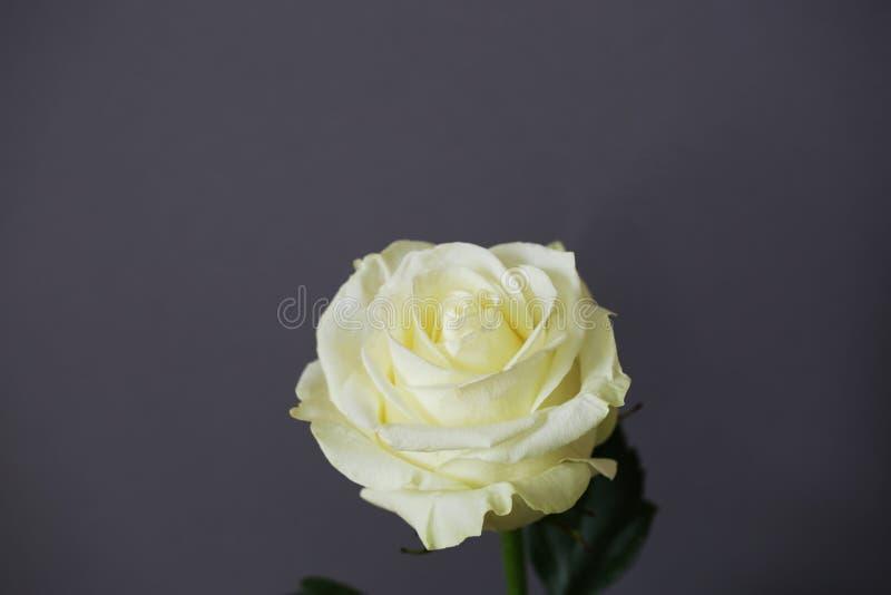 Λευκό τριαντάφυλλο όμορφο λουλούδι κοντά στοκ φωτογραφίες με δικαίωμα ελεύθερης χρήσης