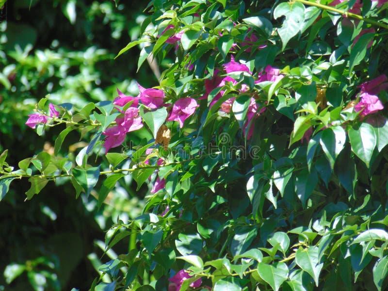 Λευκό φυτό τριαντάφυλλων στοκ φωτογραφίες