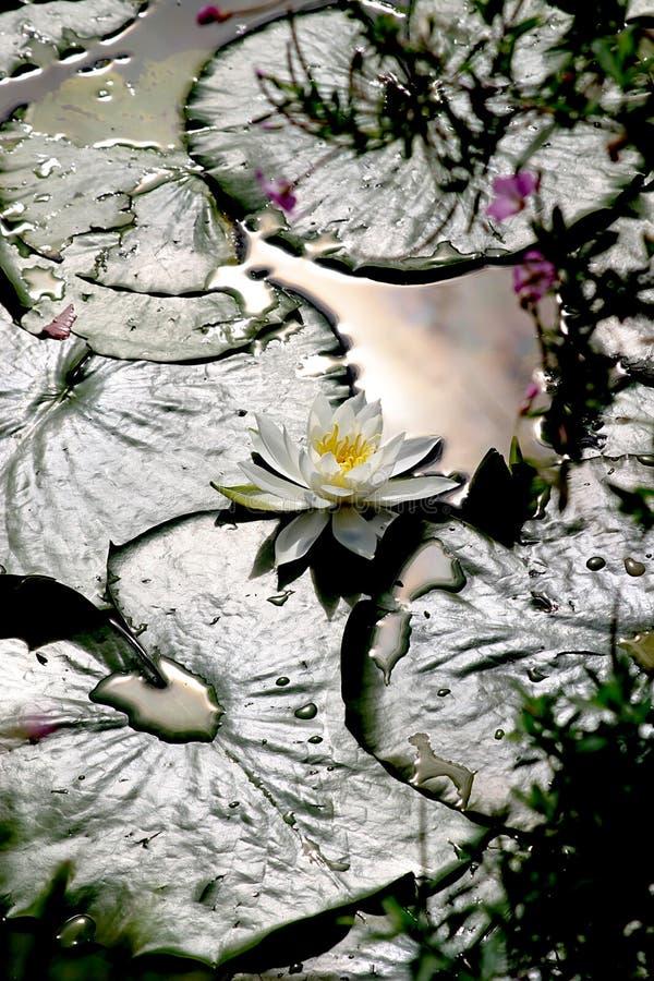 λευκό φωτός του ήλιου waterlily στοκ εικόνα με δικαίωμα ελεύθερης χρήσης