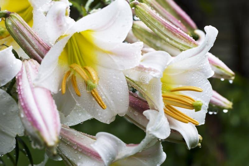 λευκό ύδατος λουλου&delt στοκ φωτογραφία με δικαίωμα ελεύθερης χρήσης
