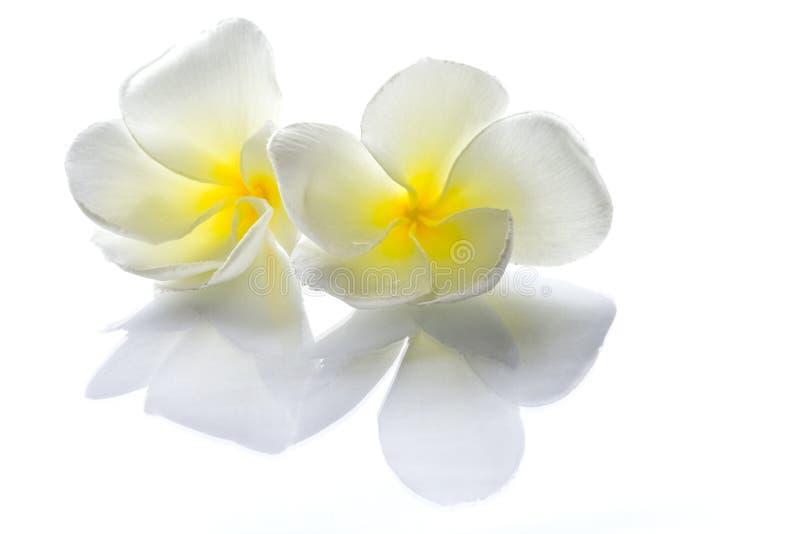 λευκό frangipani λουλουδιών στοκ φωτογραφίες