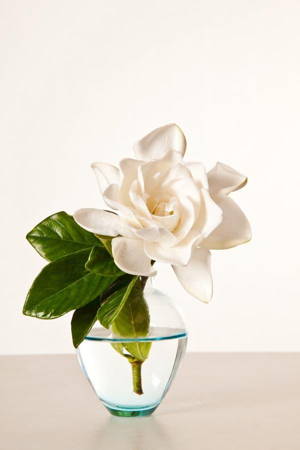 λευκό gardenia ανθών στοκ εικόνα με δικαίωμα ελεύθερης χρήσης