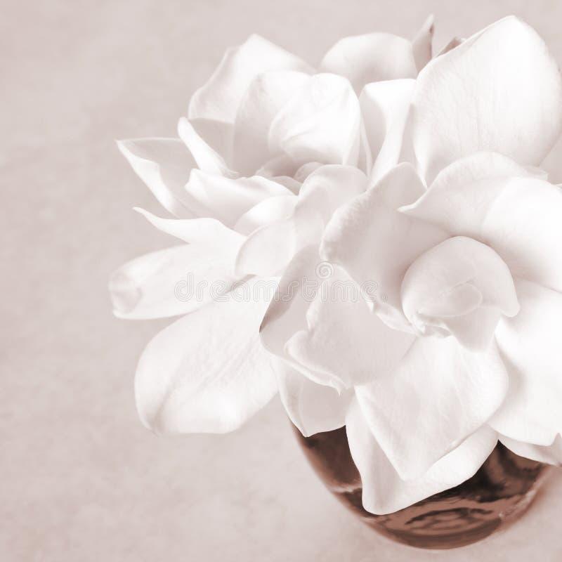 λευκό gardenia ανθών στοκ φωτογραφία με δικαίωμα ελεύθερης χρήσης