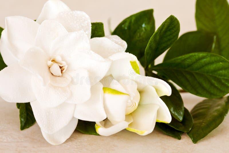 λευκό gardenia ανθών στοκ εικόνες