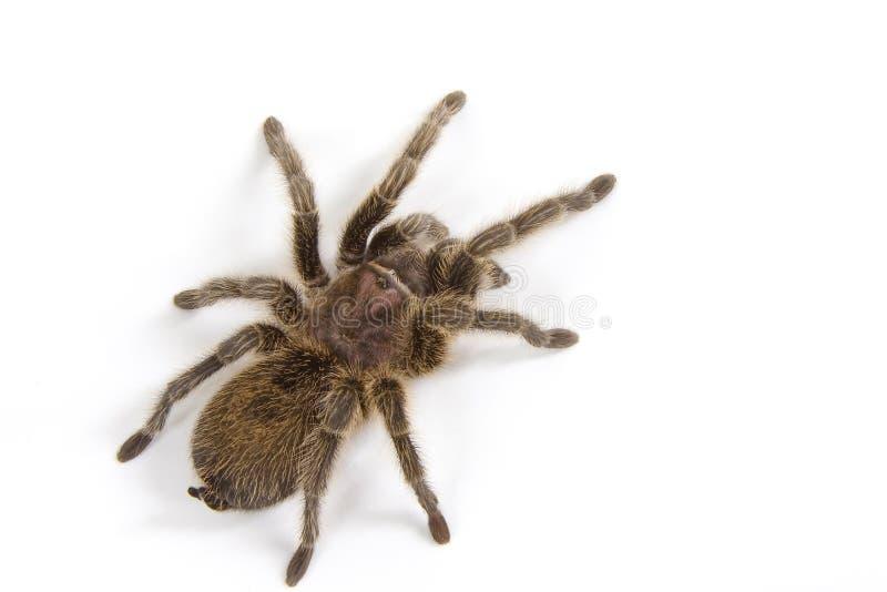Download λευκό tarantula στοκ εικόνες. εικόνα από κοιλιών, ανατριχιαστικός - 50512