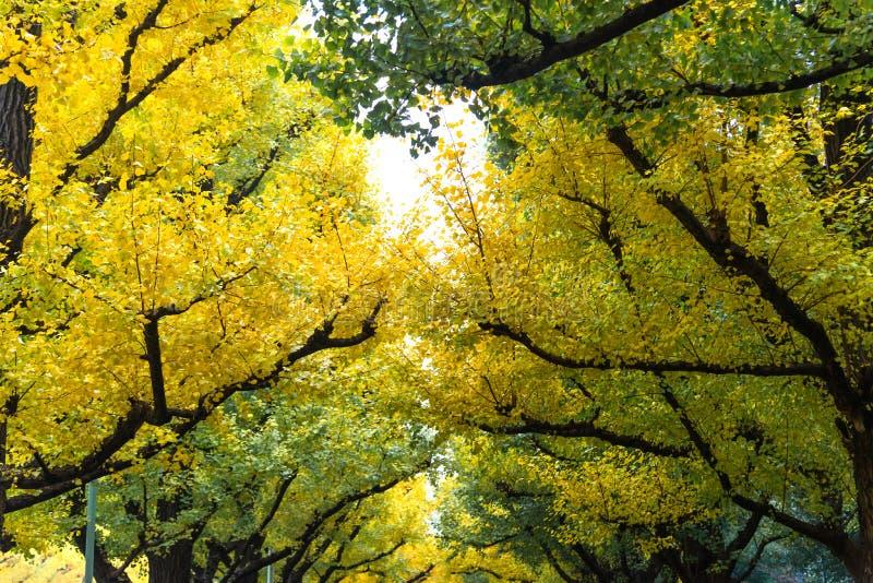 Λεωφόρος Icho Namiki/Ginkgo, πάρκο Meiji Jingu Gaien, το φθινόπωρο ομο στοκ φωτογραφία