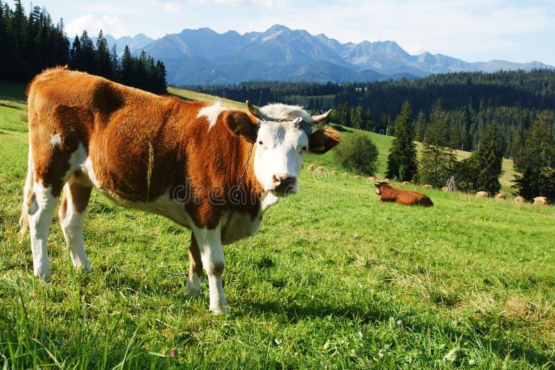 λιβάδια αγελάδων στοκ φωτογραφίες με δικαίωμα ελεύθερης χρήσης