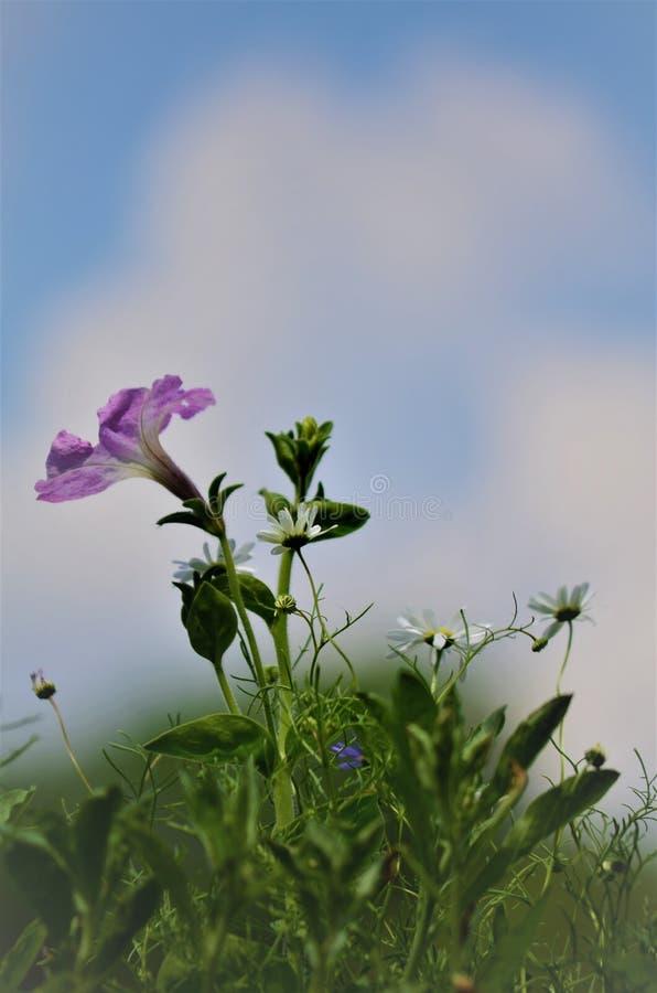Λιβάδι λουλουδιών της Νίκαιας με την άποψη στον ουρανό στοκ εικόνες