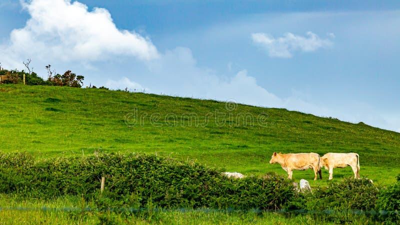 Λιβάδι με δύο αγελάδες που βόσκουν κοντά στο χωριό Doolin στοκ εικόνα με δικαίωμα ελεύθερης χρήσης