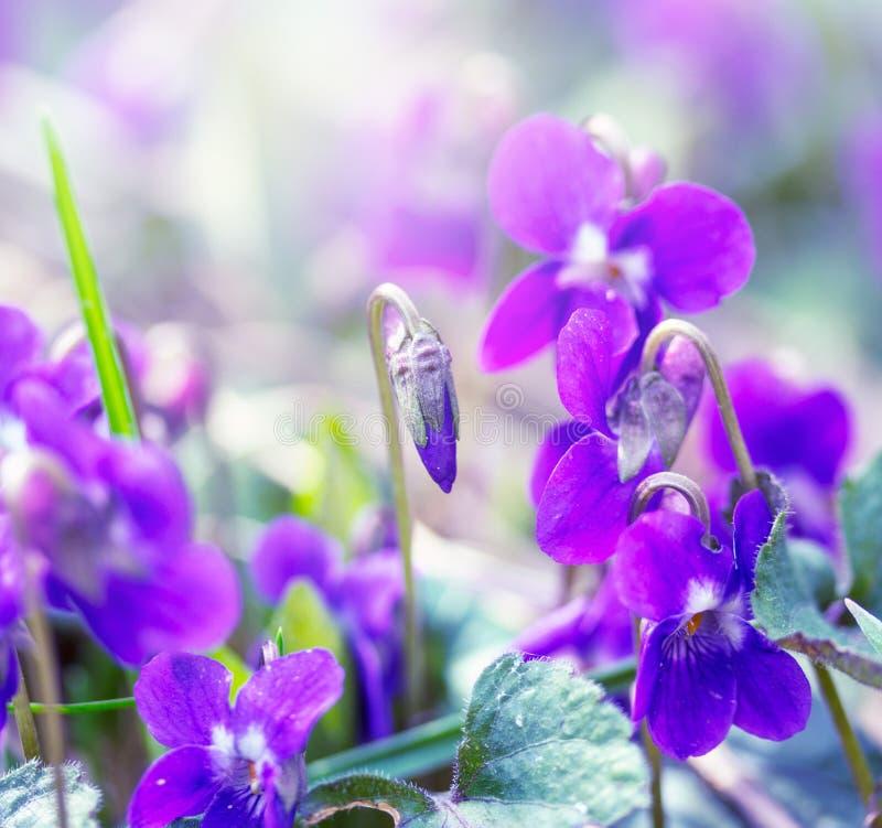 Λιβάδι με τις άγριες βιολέτες λουλουδιών στοκ εικόνες