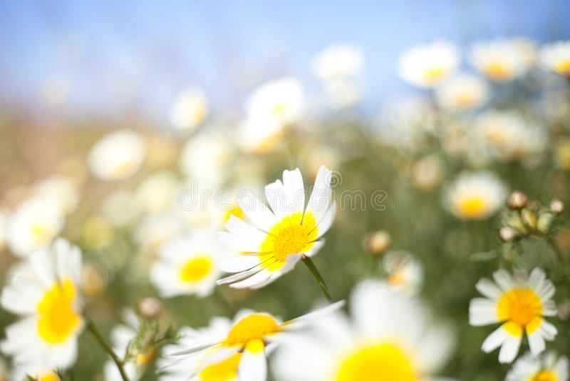 Λιβάδι της Daisy στοκ εικόνες
