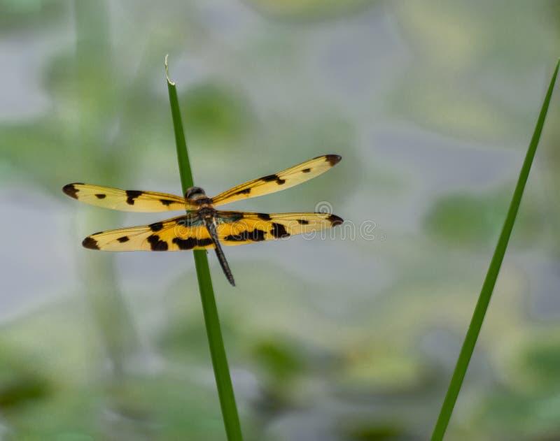 Λιβελλούλη με πολύ όμορφα φτερά στοκ φωτογραφία με δικαίωμα ελεύθερης χρήσης