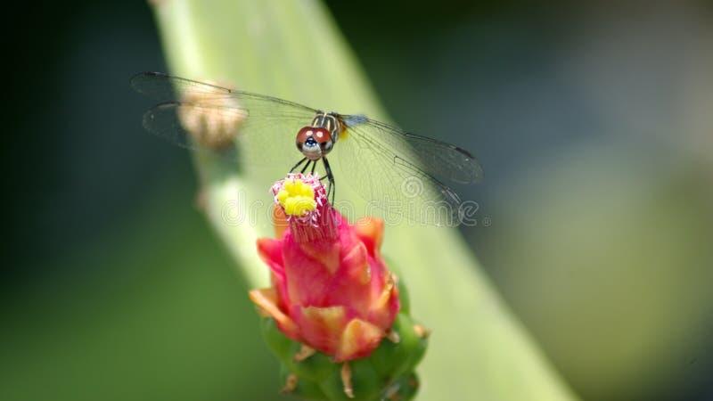 Λιβελλούλη σε ένα λουλούδι κάκτων στοκ φωτογραφία με δικαίωμα ελεύθερης χρήσης