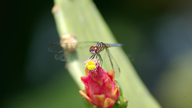 Λιβελλούλη σε ένα λουλούδι κάκτων στοκ εικόνα