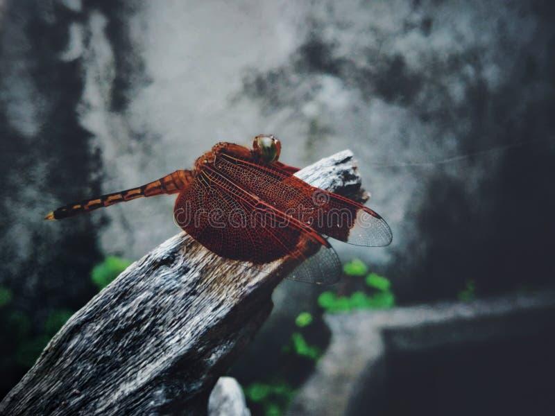 Λιβελλούλη στοκ φωτογραφία με δικαίωμα ελεύθερης χρήσης