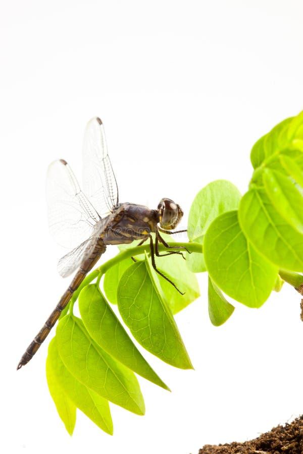 Download Λιβελλούλη στοκ εικόνα. εικόνα από μάτι, βόμβος, έντομο - 22781727