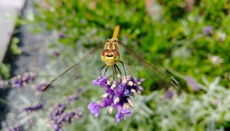Λιβελλούλη lavender στοκ φωτογραφία