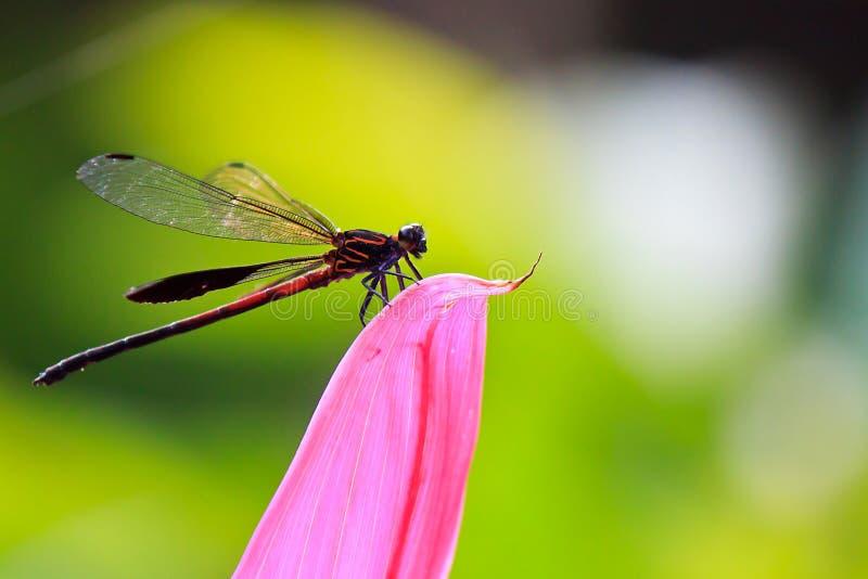 Λιβελλούλη στο πέταλο λουλουδιών στοκ φωτογραφία με δικαίωμα ελεύθερης χρήσης