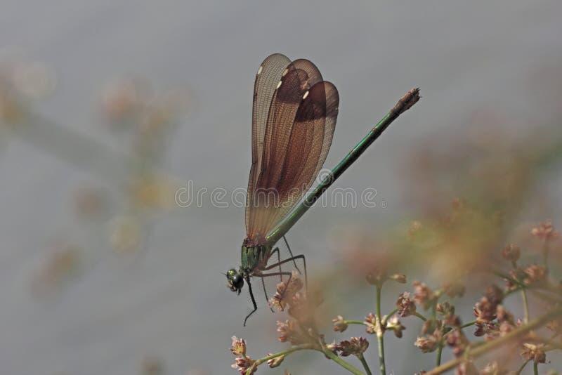 Λιβελλούλη Calopteryx στοκ φωτογραφίες