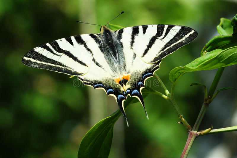 Λιγοστή μακροεντολή πεταλούδων Swallowtail στοκ εικόνες
